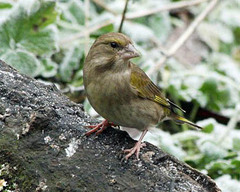 IMG_2942%20greenfinch_.jpg
