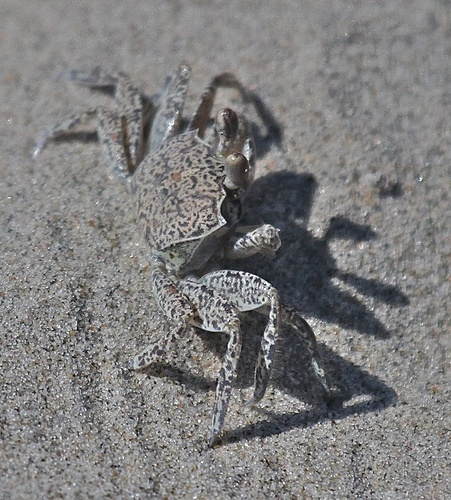Ghost%20Crab%20Adult.jpg