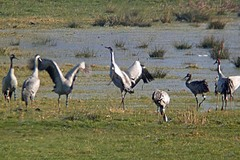 Somerset%20%2800%29%20Common%20Crane%20%28s%29.JPG