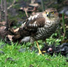 Sparrowhawk%203.jpg