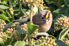 Spurn%20%2842%29%20Goldcrest%20s.JPG
