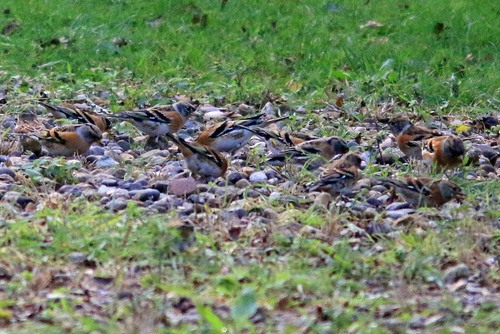 Spurn%20Bramblings_w.JPG
