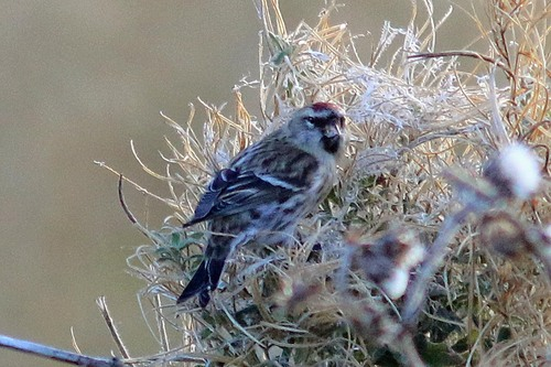Spurn%20Meally%20Redpoll_w.JPG