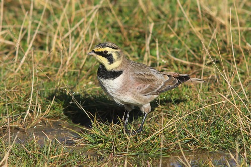 Spurn%20Shore%20Lark_w.JPG