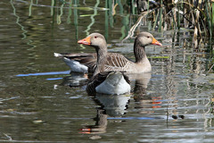 Top%20Hill%20Low%20%2808%29%20Greylag%20Geese_w.JPG