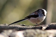 Long-tailed_Tit.jpg