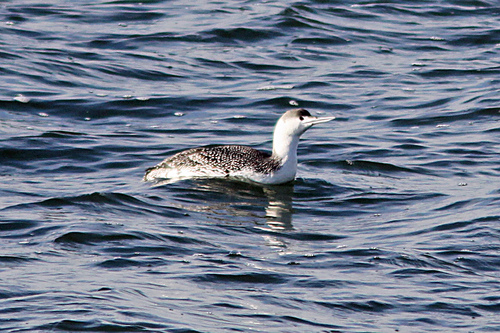 Lothian%20%28124a%29%20Red-throated%20Diver.JPG