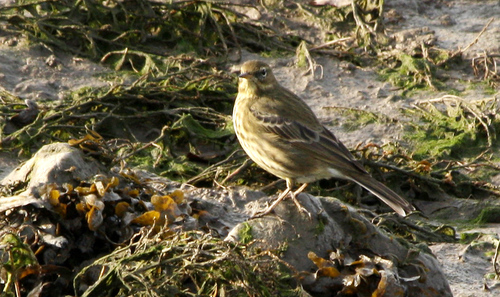 Water%20Pipit%20a.jpg