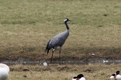 Somerset%20%28013%29%20Common%20Crane_w.JPG