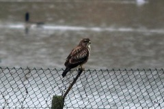 Somerset%20%28073%29%20Common%20Buzzard_w.JPG