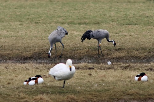 Somerset%20%28012%29%20Common%20Cranes_w.JPG