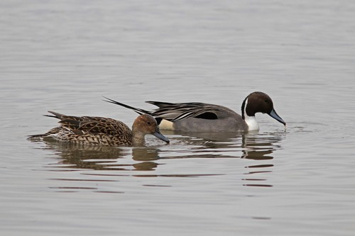 Somerset%20%28037%29%20Pintail%20%28pair%29_w.JPG