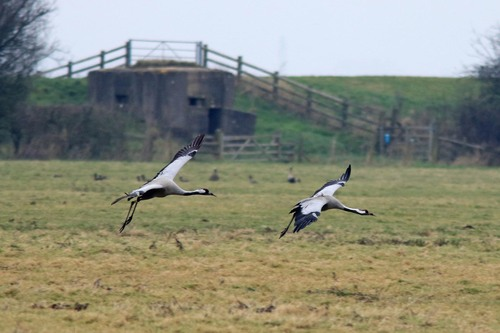 Somerset%20%28050%29%20Common%20Cranes_w.JPG