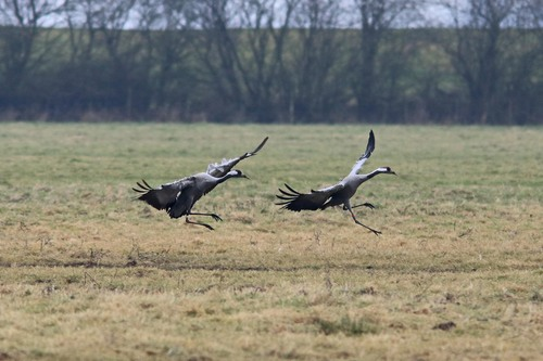 Somerset%20%28051%29%20Common%20Cranes_w.JPG