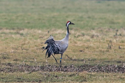 Somerset%20%28053%29%20Common%20Crane_w.JPG