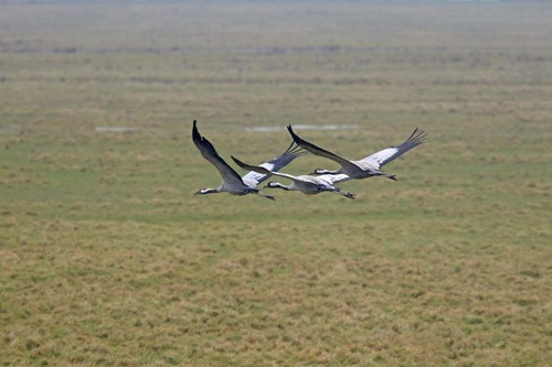 Somerset%20%28067%29%20Common%20Cranes_w.JPG