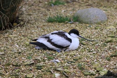 Somerset%20%28139%29%20Avocet_w.JPG