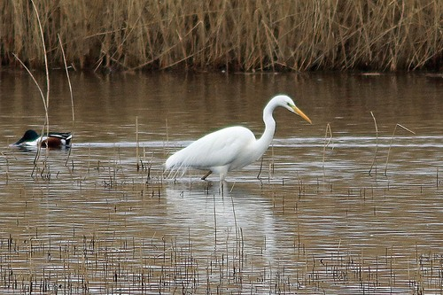 Somerset%20%28167%29%20Great%20White%20Egret_w.JPG