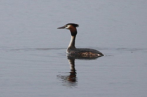Somerset%20%28202%29%20Great%20Crested%20Grebe_w.JPG