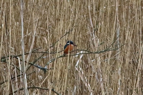 Somerset%20%28209%29%20Kingfisher_w.JPG