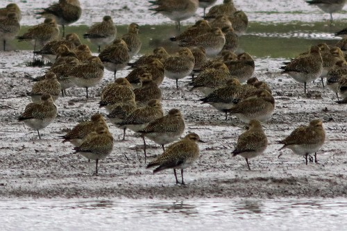 Somerset%20%28227%29%20Golden%20Plover_w.JPG